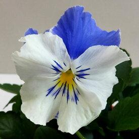 【ご予約商品♪ご予約区分B】■良品花壇苗■秋山さんのパンジーマリアブルーオーシャン10.5cmポット苗