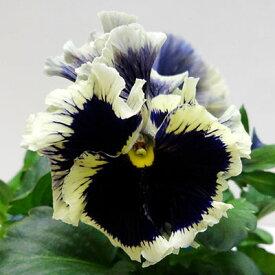 ■新鮮花壇苗■フリルパンジードラキュラ10.5cmポット