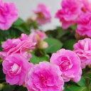 ■良品花壇苗■秋山さんの八重咲きインパチェンスピンクアロマ10.5cmポット苗