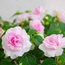 ■良品花壇苗■秋山さんの八重咲きインパチェンスプリンセスピンク10.5cmポット苗