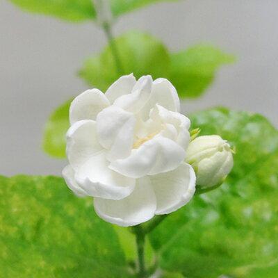 ■新鮮花壇苗■八重咲きマツリカアラビアジャスミンピカケ10.5cmポット