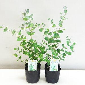 ■新鮮花壇苗■ユーカリ シルバードロップ10.5cmポット苗