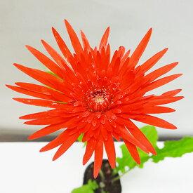 ■宿根草苗■宿根八重咲きクラシックガーベラブライトレッド10.5cmポット苗