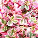 ■新鮮花壇苗■斑入りポーチュラカマジカルキューティー(華ミステリア)