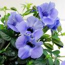 ■新鮮花壇苗■トレニア カタリーナブルーリバー10.5cmポット苗