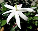 ■新鮮花壇苗■ワイルドスター ジャスミン4号鉢苗