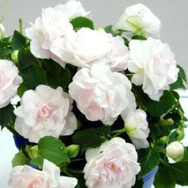■良品花壇苗■秋山さんの八重咲きインパチェンスアップルブロッサム10.5cmポット苗