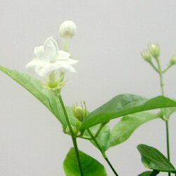 ■新鮮花壇苗■マツリカジャスミンアラビアジャスミンピカケ10.5cmポット苗