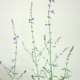 ■宿根草■ロシアンセージ10.5cmポット苗