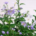 ■新鮮花壇苗■再入荷!ツルハナナス パープル(ヤマホロシ)ポット苗