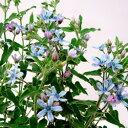 ■新鮮花壇苗■再入荷!ブルースター(オキシペタラム)3.5号ポット