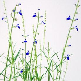 ■宿根草■コバルトセージ 青色 10.5cmポット苗
