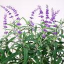 ■宿根草■サルビア レウカンサ パープルアメジストセージ10.5cmポット苗