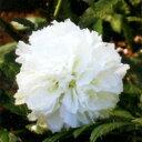 ■新鮮花壇苗■ー20℃〜40℃まで適応する丈夫さ!トキンイバラルブス コマーソニー10.5cmポット苗