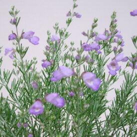 ■新鮮花壇苗■ミントブッシュシルバーリーフ9cmポット苗