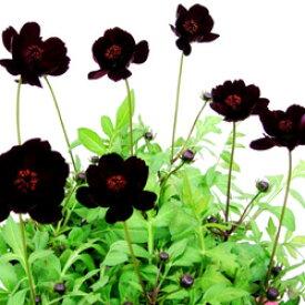 ■新鮮花壇苗■チョコレートコスモスチョコモカ10.5cmポット苗