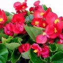 ■新鮮花壇苗■ベゴニア センパフローレンスレッド10.5cmポット