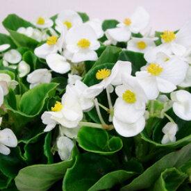 ■新鮮花壇苗■ベゴニア センパフローレンスホワイト10.5cmポット苗