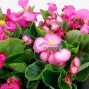 ■新鮮花壇苗■ベゴニア センパフローレンスピンク系10.5cmポット