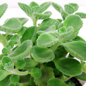 ■香りのハーブ苗■香ります!アロマティカス9〜10.5cmポット苗