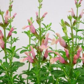 ■宿根草■チェリーセージストロベリー&クリーム10.5cmポット苗