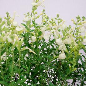■宿根草■チェリーセージサンゴールド10.5cmポット苗