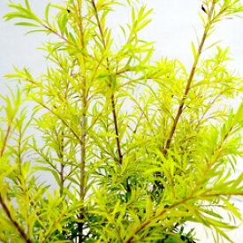 ■新鮮花壇苗■メラレウカレボリューションゴールド9cmポット苗
