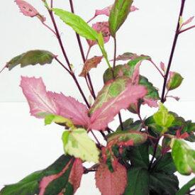 ■新鮮花壇苗■ハイビスカスレッドロコ9cmポット植え