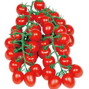 ■夏野菜苗■ミニトマト甘っこ接木10.5cmポット苗