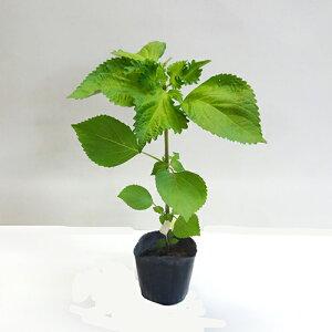 ■夏野菜苗■無農薬アオシソ大葉実生苗10.5cmポット苗