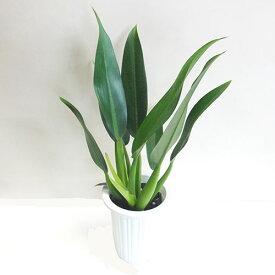 ■観葉植物■フィロデンドロン キャニフォリウム5号鉢植え