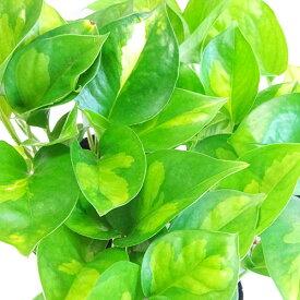 ■観葉植物■ミニ観葉ポトス グローバルグリーン3.5号ポット植え