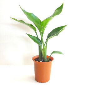 ■観葉植物■ストレリチアオーガスタ4号プラ鉢植え
