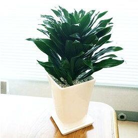 ■観葉植物■【送料無料】ドラセナコンパクタΦ13.5cm陶器鉢植えホワイト・ブラック九州・北海道・沖縄へのお届けは別途送料が掛かります