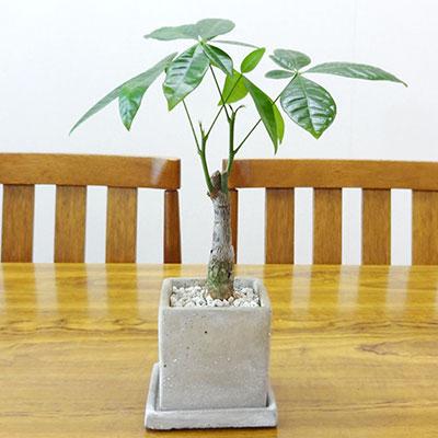 ■観葉植物■パキラ□8cmスクエア 石材風陶器鉢植え 1本立ち受け皿つき【楽ギフ_包装】【楽ギフ_メッセ入力】