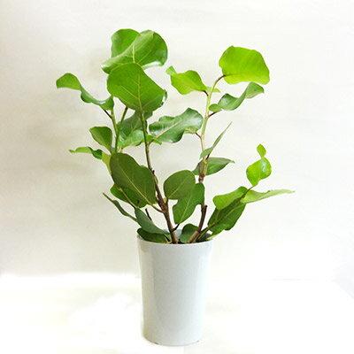 ■観葉植物■シーグレープ6号プラ鉢 【モダン】【トロピカル】