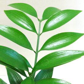 ■観葉植物小鉢■ナギの木(梛)9cmポット苗