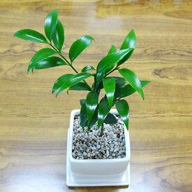 ■観葉植物■【送料無料】ナギ(梛)□9cm陶器鉢植え 受け皿つき九州・北海道・沖縄へのお届けは別途送料が掛かります
