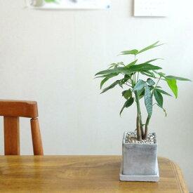 ■観葉植物■【送料無料】パキラ□8cmスクエア 石材風陶器鉢植え 受け皿つき九州・北海道・沖縄へのお届けは別途送料が掛かります