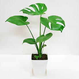 ■観葉植物■【送料無料】 モンステラ □14cmスタイリッシュプラ鉢植え九州・北海道・沖縄へのお届けは別途送料が掛かります