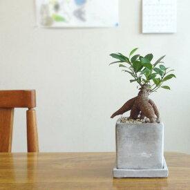 ■観葉植物■【送料無料】ガジュマル□8cmスクエア 石材風陶器鉢植え 受け皿つき九州・北海道・沖縄へのお届けは別途送料が掛かります