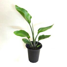 ■観葉植物■ストレリチアオーガスタ6号プラ鉢植え