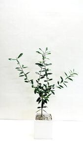 ■観葉植物■【送料無料】オリーブスクエア□11.7cm陶器鉢植えホワイト・ブラック九州・北海道・沖縄へのお届けは別途送料が掛かります