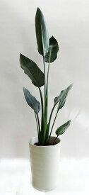 ■観葉植物■【送料無料】ストレリチア レギネ15cmロング鉢九州・北海道・沖縄へのお届けは別途送料が掛かります
