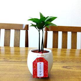 ■観葉植物小鉢■2.5号丸白陶器鉢入り ナギ(梛)