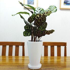 ■観葉植物■【送料無料】カラテア マコヤナ 12cm陶器鉢植え ホワイト・ブラック 九州・北海道・沖縄へのお届けは別途送料が掛かります