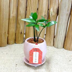 ■観葉植物■2.5号丸ピンク陶器鉢入り ナギ(梛)ギフトにおすすめ