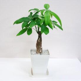 ■観葉植物■【送料無料】パキラ □14cmスタイリッシュプラ鉢ギフトにも九州・北海道・沖縄へのお届けは別途送料が掛かります
