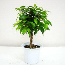 ■観葉植物■《送料無料》 ベンジャミン 4号鉢【楽ギフ_包装】【楽ギフ_メッセ入力】