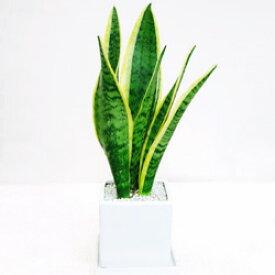 ■観葉植物■【送料無料】サンスベリア11.5cm陶器鉢植え受け皿つきホワイト・ブラック九州・北海道・沖縄へのお届けは別途送料が掛かります
